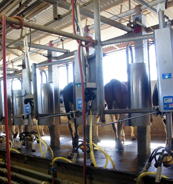 Cows being milked at Kerry Dairy