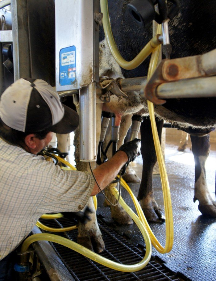 Cows being milked at Kerry Dairy in AZ