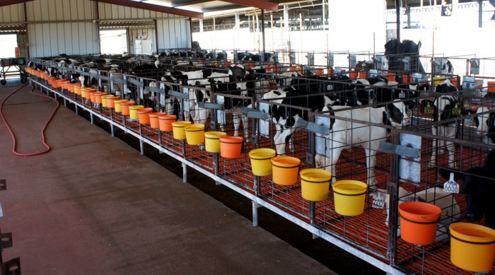 Baby cows at Kerr Dairy Farm in Arizona