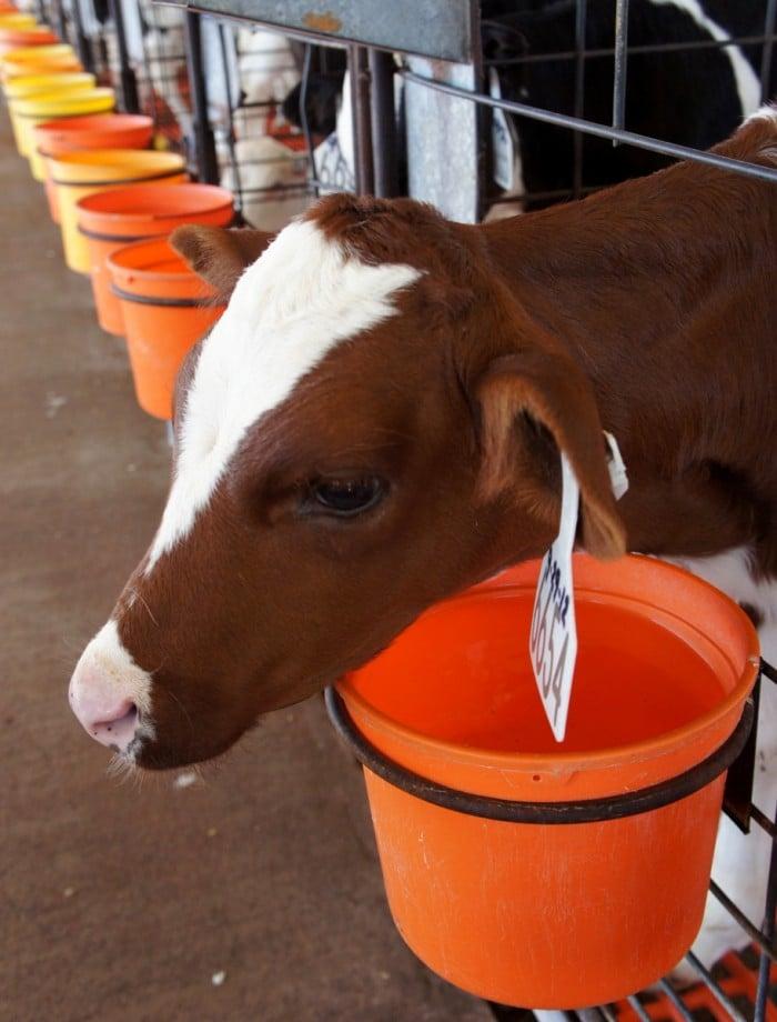 A close up of a calf at Kerr Dairy Farm in Arizona