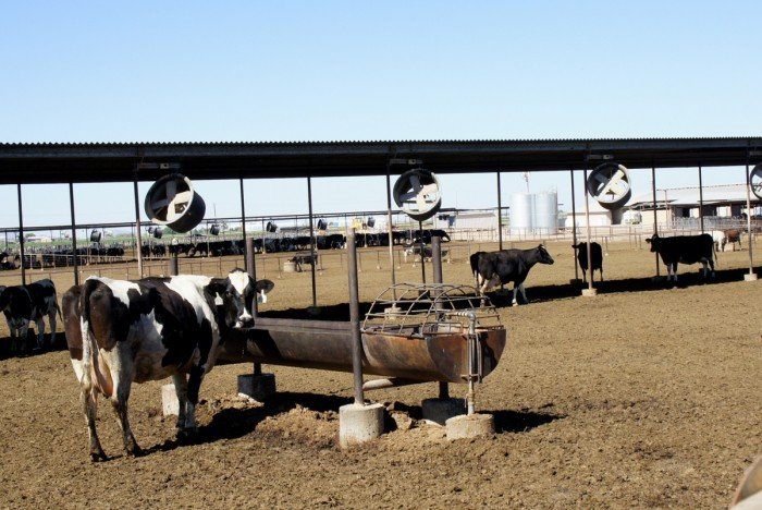 Cows at Kerr Dairy in Arizona