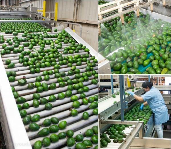 Avocado Packing Plant