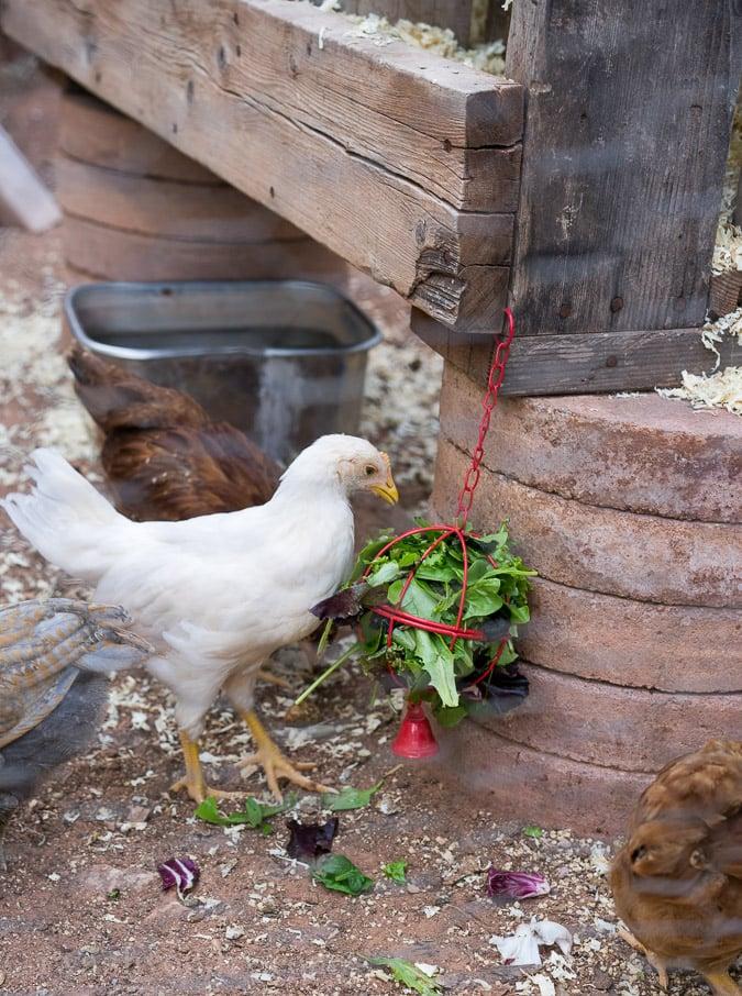 Chickens 6 weeks-5